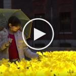 «2100 jonquilles à Londres pour rendre hommage aux infirmières» !